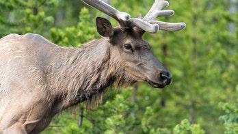 Hundreds of elk seen streaming across road in video