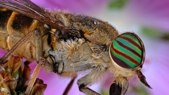 Pentagon seeks to harness insect brains for 'conscious robots'