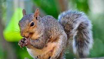 Electrocuted squirrel finally removed from utility wires: 'Rest in power,' neighbors say