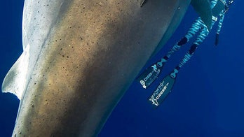 World's largest great white shark 'Deep Blue' gives diver a close-up: 'Thought my heart was going to explode'
