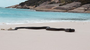 Deadly snake spotted devouring huge lizard on Australian beach