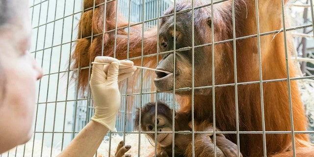 In this undated photo, released Thursday Jan. 31, 2019, by Zoo Basel, zoo keepers take DNA samples from female orangutan Maja to determine the paternity of her daughter Padma at the Basel Zoo. ( Zoo Basel via AP)