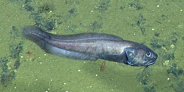 Cusk eels were spotted thriving in theCerralvo Trough.