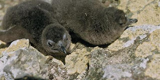 Little blue penguins stolen from New Zealand nest