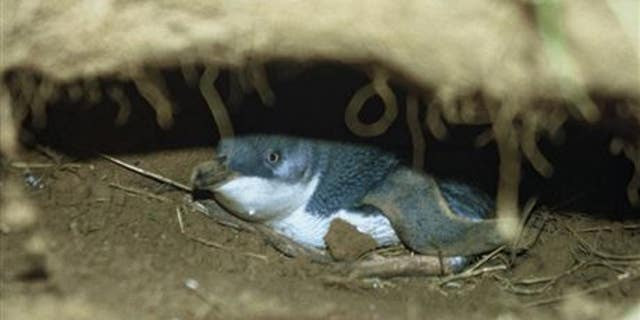 Picture of a little blue penguin in a hole, Chatham Islands. (Department of Conservation, DOC)