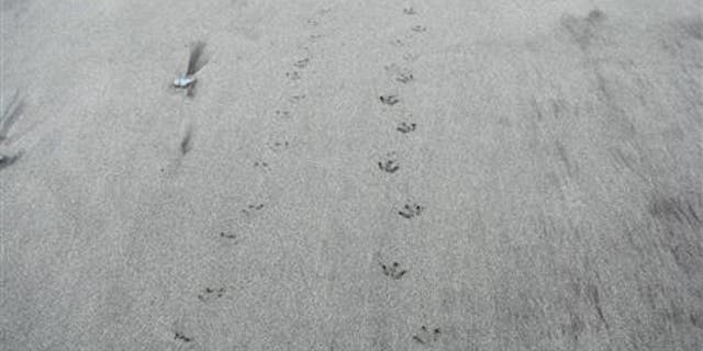 File photo of small penguin tracks. (Becs Gibson, DOC)