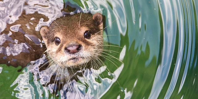 The Florida woman said she suspects the otter that attacked her was rabid.