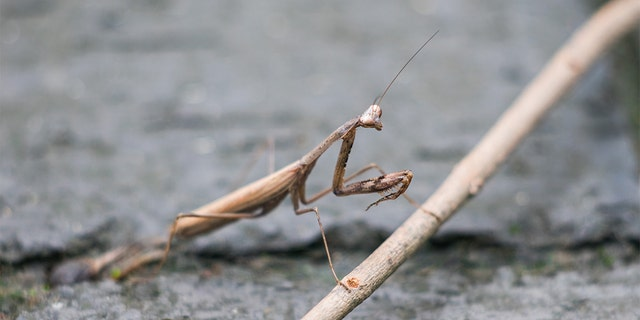 A Virginia woman said a praying mantis egg was attached to her Christmas tree, and more than 100 of the insects hatched in her home.