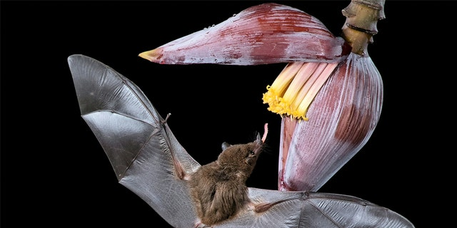 John Hudson, 72, a semi-retired hypnotherapist, was touring a nature reserve late at night when he came across the bats by chance. He spent three hours crouched in a makeshift hide to capture the pictures of the animals using their tongues to lap up the nectar. (Credit: SWNS)