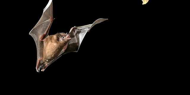 The extraordinary snaps are almost never seen with the naked eye because bats feed at night and are notoriously difficult to spot. (Credit: SWNS)
