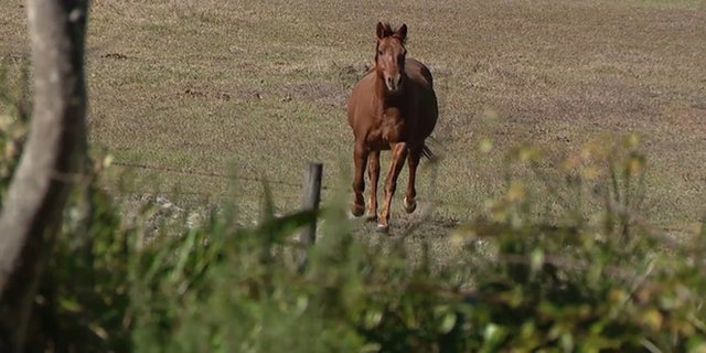 Shiloh, one of the horses who helped apprehend the suspect, is known to be feisty and aggressive.