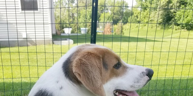 Cooper, a two-year-old American foxhound, lives with short spine syndrome, a genetic condition caused by inbreeding where vertebrae are fused together and compressed.
