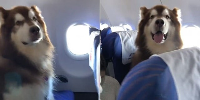 The Alaskan Malamute kept its companion in good spirits through their time in the high skies.
