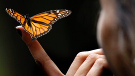 Locals find monarch colony in Mexico after yearslong search