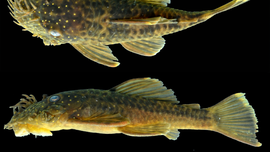 These newfound catfish species are either the ugliest fish ever or super adorable