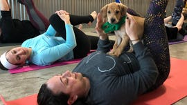Puppy yoga gaining popularity as a new twist on the workout