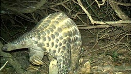 Rarely glimpsed scaly pangolins caught hugging trees in the dark