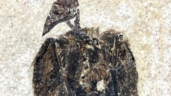 52-million-bird fossil found with feathers still attached