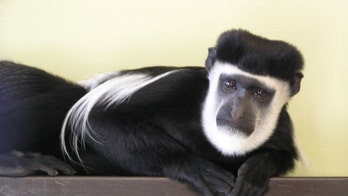 Valentine's Day stunner: Handsome monkey gets lonely hearts column ahead of holiday