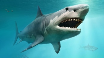 New details revealed about Megalodon's shocking size: They ate their siblings in the womb