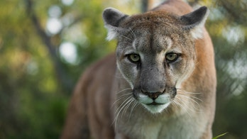 Mountain lion killed after child attacked in San Diego wildlife preserve