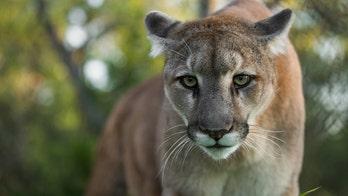 Mountain lion bites Colorado boy, 8, on head, injuries 'serious,' wildlife officials say