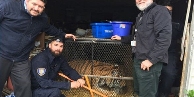 An overweight tiger was found abandoned in a Houston home on Monday.