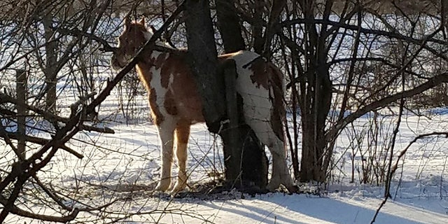 This photo shows a horse that became stuck in a tree in northern Indiana amid subzero temperatures, Jan. 30, 2109. (Courtesy of Daniel Ball via AP)