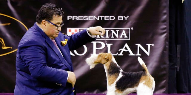 King, a wire fox terrier, competes with the terrier group at the 143rd Westminster Kennel Club Dog Show Tuesday, Feb. 12, 2019, in New York. (AP Photo/Frank Franklin II)