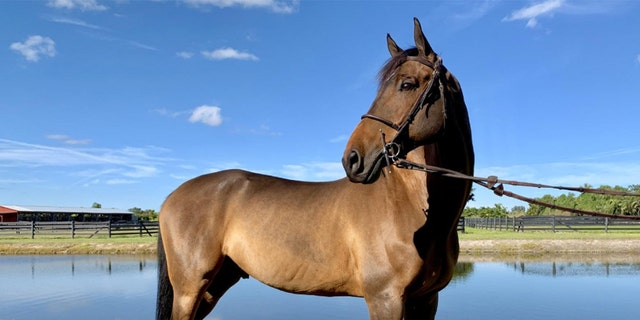 Bonjovi is one of several European show jumping horses whowill be up for auction