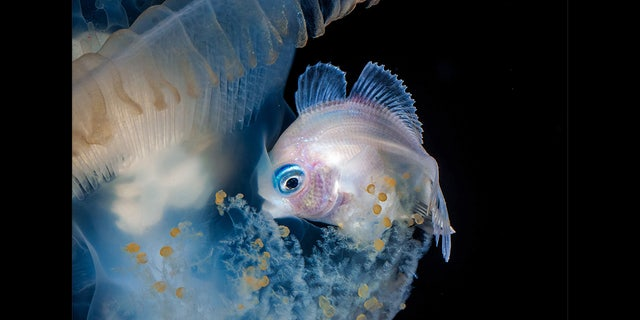 File photo - This snapper has taken a Stranger Things approach to his underwater photography, peering into the Upside Down and photographing the most intriguing creatures of the deep.