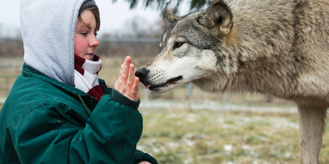 FILE - In this December 2018 file photo provided by Wolf Park, intern Alexandra Black pets Niko the wolf at Wolf Park in Battle Ground, Ind. A witness told authorities that a gate blocked by a ball at a North Carolina animal preserve allowed a lion to reach three people cleaning an enclosure and begin a fatal attack, biting Black's ankle and pulling her into the enclosure, according to a medical examiner's report.  (Monty Sloan/Wolf Park via AP)