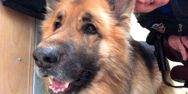 In this Feb. 14, 2019, photo provided by Morgan Miles, Kaiser, a king shepherd dog, gets petted at the Responsible Pet Care of Oxford Hills shelter in South Paris, Maine. The 5-year-old dog went missing in Ashby, Mass., eight months ago, and made his way 175 miles away to Maine. Kaiser's owner was reunited with his dog Sunday, Feb. 17. (Morgan Miles via AP)