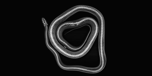The image above depicts Cornelius, a corn snake, at the ZSL London Zoo.
