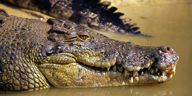 Watch out. The next crocodile you see might be able to gallop toward you.