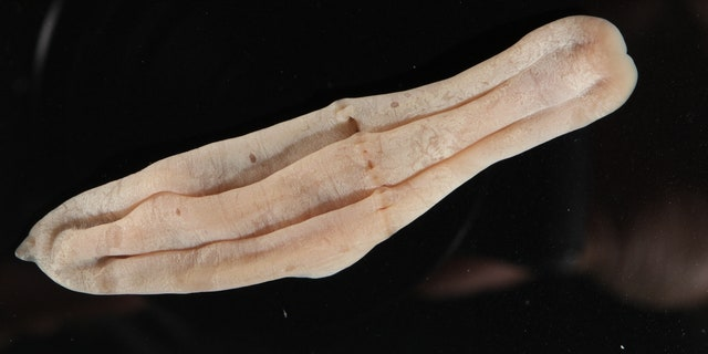"""Xenoturbella is a genus of very simple animal with bilateral symmetry that grows up to a few centimeters long,"" the Schmidt Ocean Institute describes."