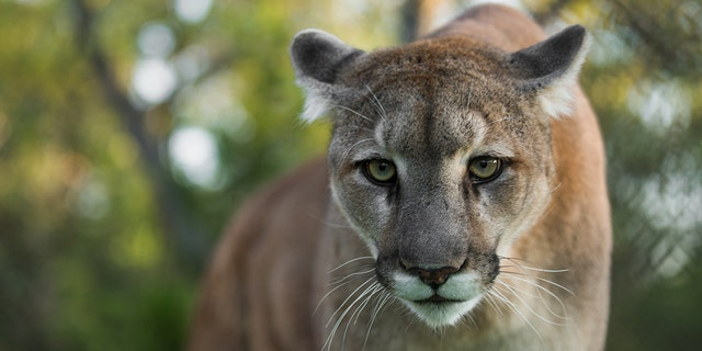 A pride of up to 10 mountain lions is currently roaming Edwards, Colorado, wildlife officials say.