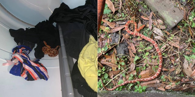 A woman in Florida discovered a snake in her dryer while taking out laundry on Sunday.