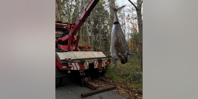 After it was found in 2017, local fishing authorities confirmed the tuna was illegally harvested, and it was hauled from the woods by a towing company.