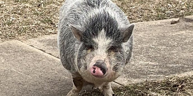 Police were able to lure a pot-bellied pig back home.