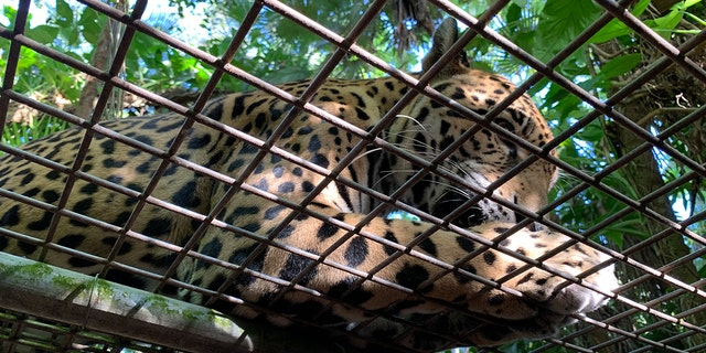 If you've ever wanted to be licked by a jaguar, cuddle a croc or feed a tapir, Belize's national animal, or a toucan, its national bird, the Belize Zoo is where you go.<br>