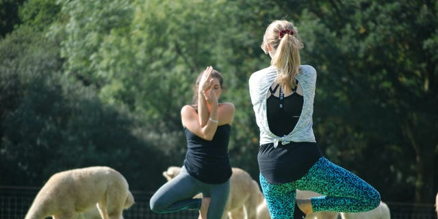 """In addition to the alpaca yoga, the farm also offers alpaca walking, alpaca picnics, alpaca art sessions and a special """"alpaca connection"""" package."""