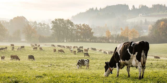 Cows have been targeted for potential elimination in the Green New Deal (iStock).