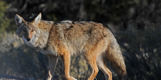FILE: A Florida man used a coffee cup to fight off an aggressive coyote.