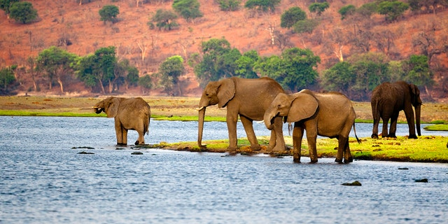 Part of a herd of elephant arriving to drink from the Chobe river.