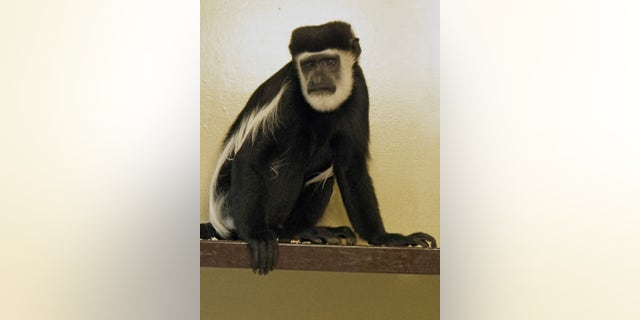 The six-year-old primate is a favorite among staff at Drusillas Park but his adoption plaque remains empty. (Credit: SWNS)