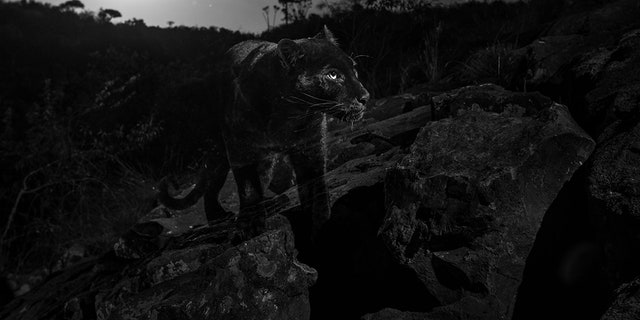 Will Burrard-Lucas says the black leopard could easily go undetected at night.