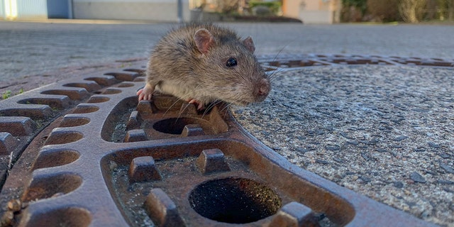 Rescue crews save chubby rat that got stuck in manhole cover