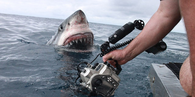 He spots the camera and comes in for a closer look. (Credit: Australscope/Media Drum World)