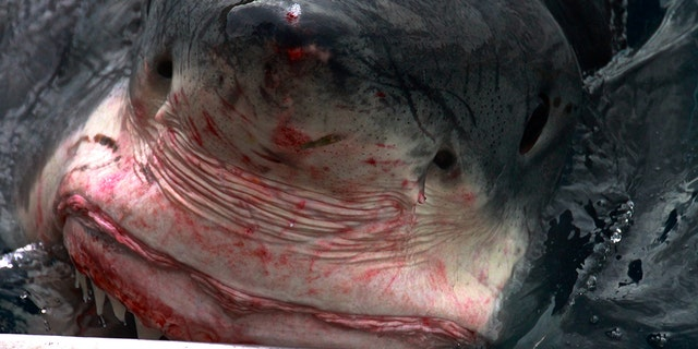 The shark has a nibble on the steel cage. (Credit: Australscope/Media Drum World)
